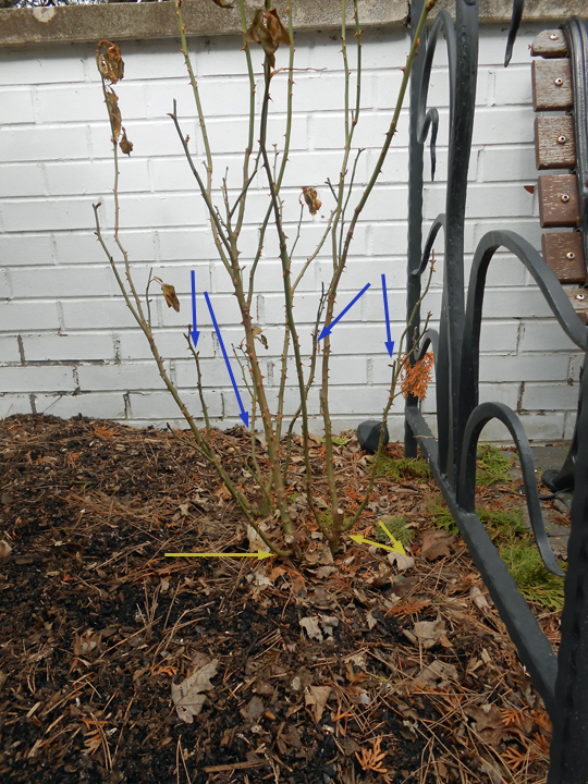 Before and after pruning. Blue arrows mark weak- and damaged canes. Yellow arrows indicate how low we cut to remove those weaklings.